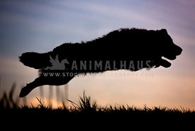 Silhouette of dog jumping