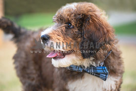 young bernadoodle puppy close up looking away wearing bow tie