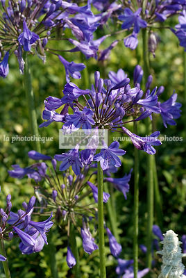 Agapanthus africanus 'Tom Thumb' (agapanthe), African lily. Paysagiste : Paul Martin, Hampton Court, Angleterre