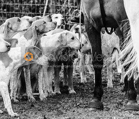 Cottesmore hounds - The Cottesmore Hunt at Ashwell Grange 9/12
