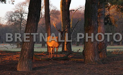 Stag Lit Up By The Late Afternoon Sun