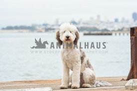large sheepadoodle puppy sitting on dock in front of water