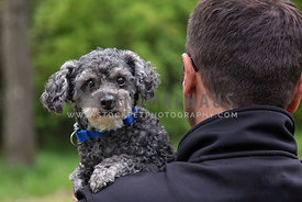 Small grey poodle cross looking over man's shoulder
