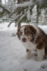 Beautiful dog under snowy tree branch
