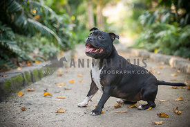 English Staffordshire Bull Terrier in Park