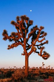 Joshua tree at sunrise, California, USA