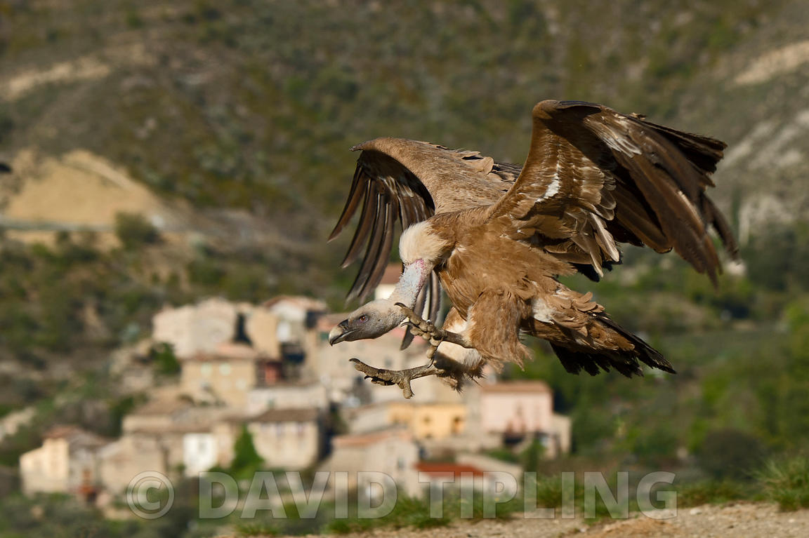 Griffon Vulture, Gyps fulvus in pre-Pyrenees near Solsona, Catalonia, Spain March
