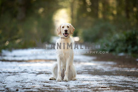 Yellow lab dog sitting in the snow in a park