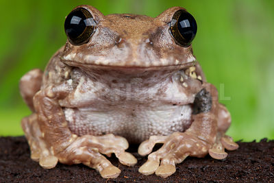 African broad mouth tree frog (Leptopelis flavomaculatus)