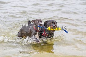 dogs playing together in the lake