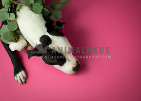Pit bull on pink from top down with fresh flowers