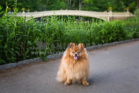 pomeranian at bow bridge in central park
