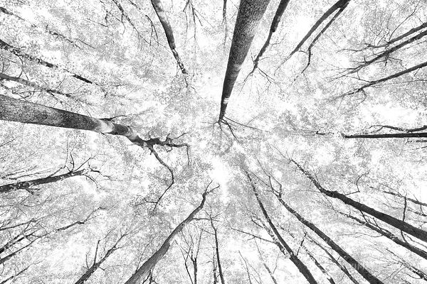 FOREST CANOPY SHENANDOAH NATIONAL PARK VIRGINIA BLACK AND WHITE