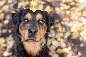 Rottweiler mix with yellow leaf on his head looking at camera