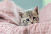 Grey Tabby Kitten red blanket curious blue eyes