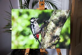Great Spotted Woodpecker (Male)