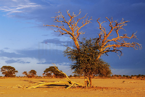Camel thorn Tree at Sunset
