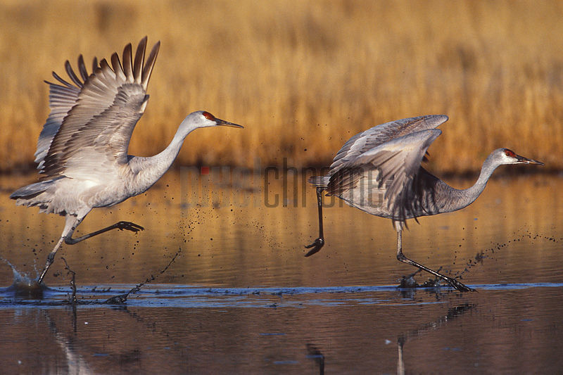 Sandhill Cranes Taking off