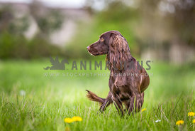 Side View of standing brown Working Cocker Spaniel