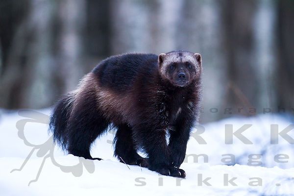 Wolverine Photography photos