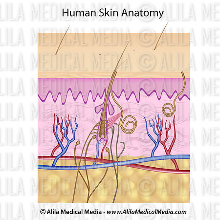 Human skin anatomy, unlabeled diagram.