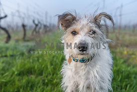 Terrier mix on a foggy day looking sweet