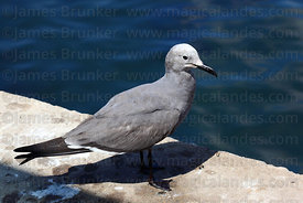 Adult Grey Gull ( Leucophaeus modestus ) in breeding plumage