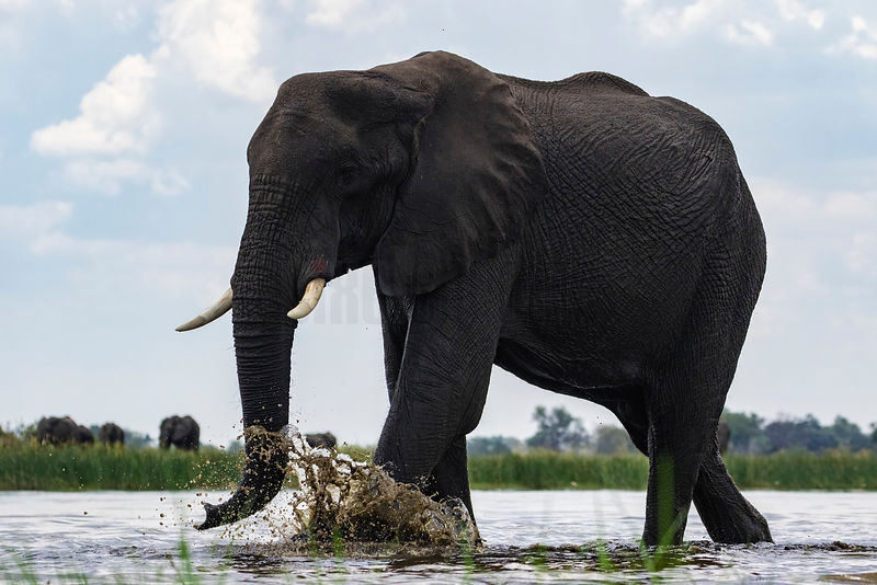 Elephant Bull Emerging from Water