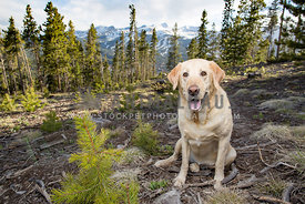 lab sitting on top of mountain