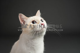 cream siamese mix cat with blue eyes looking up on a dark gray background