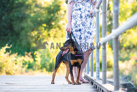 Young rottweiler standing with woman on wooden bridge