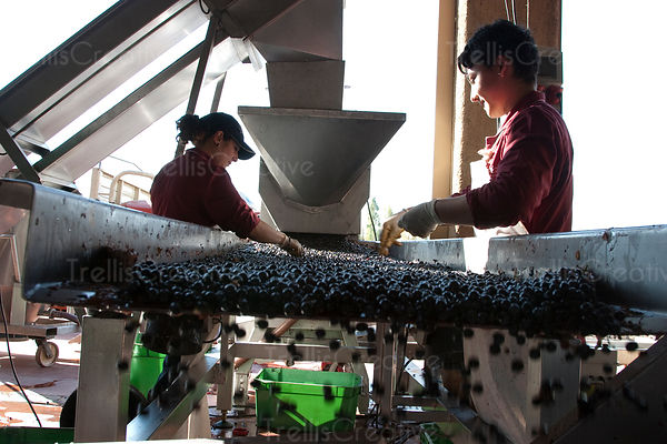 Two women workers hand-sort grapes on a winery sorting table
