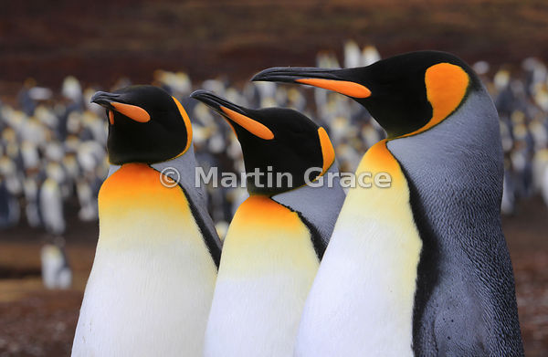 Three King Penguins (Aptenodytes patagonicus) in front of the colony, Volunteer Point, East Falkland, Falkland Islands