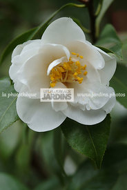 Camellia japonica 'Liberty Bell'