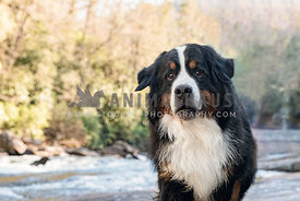 smiling bernese mountain dog standing in front of stream
