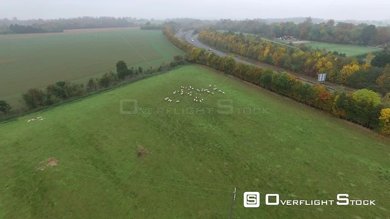 Sheep Grazing Autumn Countryside UK