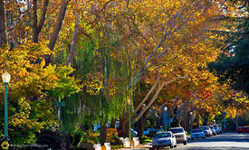 Fall Collors in Midtown Sacramento #2