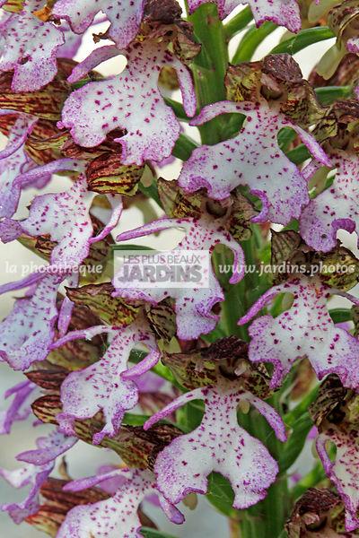 la photothèque | LES PLUS BEAUX JARDINS | Orchis purpurea ...