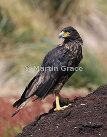 Striated Caracara (Phalcoboenus australis) standing on area of exposed peat, Sea Lion Island, Falkland Islands