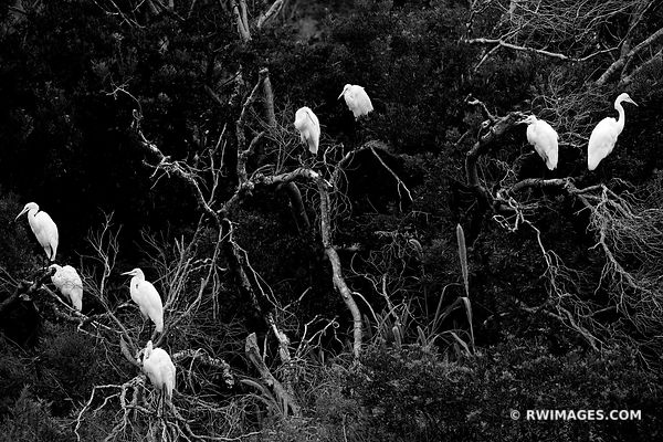 WHITE EGRETS ASSATEUGUE ISLAND NATIONAL SEASHORE CHINCOTEAGUE NATIONAL WILDLIFE REFUGE VIRGINIA BLACK AND WHITE