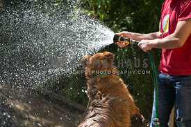 shepherd mix dog playing with water from hose in owners hand