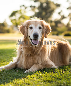 senior golden retriever laying in grass and sun