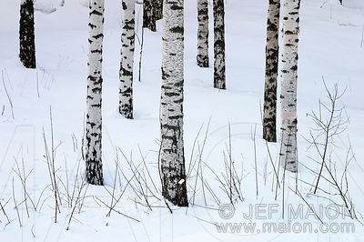 Patterns of trunks in snow