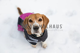 Beagle dog sitting in snow wearing jacket
