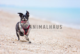black and white dog running on beach