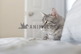 silver tabby watching on bed