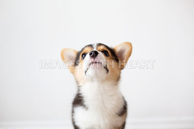 Corgi puppy looking up
