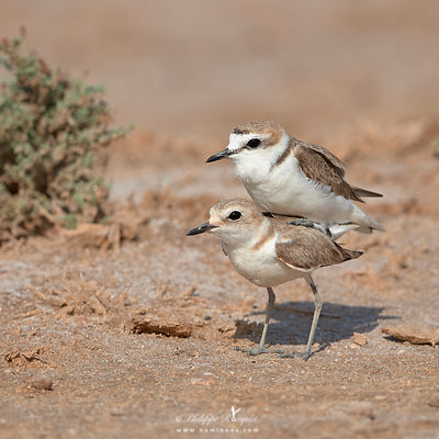 Busy plover pair