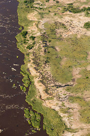 Aerial view of Wildebeest (Connochaetes taurinus) herd at the edge of the Mara river during migration. Masai-Mara game reserv...
