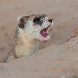 Black Footed Ferrets wildlife photos